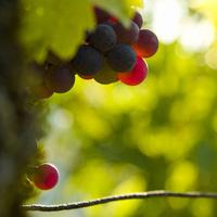 Bordeaux : La plus faible récolte depuis le gel de 1991