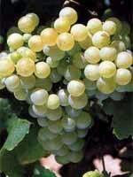 Le Chardonnay - Couleur : Blanc