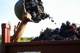 Bordeaux : Petite récolte en rouge et blanc